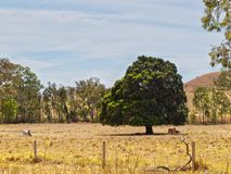 Land cleared solitary fig tree for shade Royalty Free Stock Photography