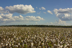 Land of Cotton Stock Image