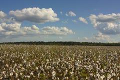 Land of Cotton Stock Image