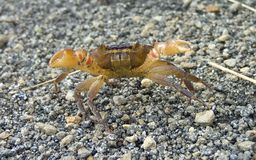 Land crab Royalty Free Stock Images