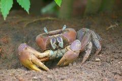 Land Crab Cardisoma carnifex. On Praslin, Seychelles Stock Photos