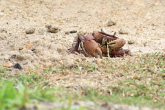 Land crab eating a blade of grass Stock Photo