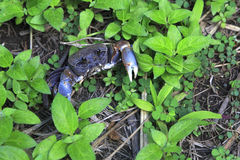Land crab in the grass Stock Image