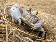 Land crab leaves its hole Stock Photography