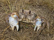 Land crab Stock Images