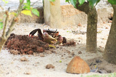 Land crab sitting near its burrow Royalty Free Stock Photo