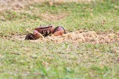 Land crab sitting near its burrow Stock Photography