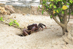 Land crab sitting near its burrow Stock Photography