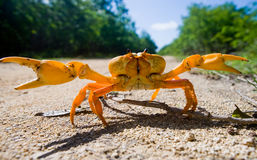 Land crab spread its claws. Cuba. Royalty Free Stock Images