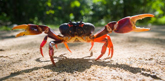 Land crab spread its claws. Cuba. Royalty Free Stock Photos