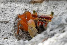 A land Crab was caught halfway out of his hole Royalty Free Stock Photo