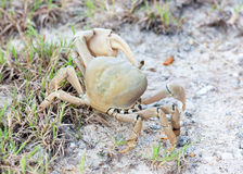 Land crabs. With one eye Royalty Free Stock Images