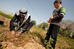 Land Day Olive Planting in Nabi Samuel Stock Photography