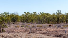 Land Deforestation For Cattle Grazing. Cattle grazing on cleared barren land devastated by deforestation royalty free stock photography