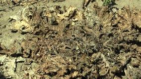 Land die van het de droogte barstte het droge gebied van Cardusmarianus zeer met marianum van de distelsilybum van de installatie stock footage