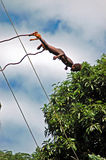 Land Diving. The island of Pentecost is in the South Pacific. To day the natives still practice the ancient rituel of the famous land diving. Boys as young as Royalty Free Stock Photo