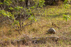 Land-dwelling turtoise in Sri Lanka.  Royalty Free Stock Photo