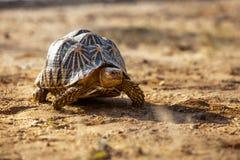 Land-dwelling turtoise in Sri Lanka Royalty Free Stock Photography