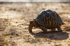 Land-dwelling turtoise in Sri Lanka.  Royalty Free Stock Photos