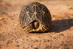 Land-dwelling turtoise in Sri Lanka. Asia Stock Photo