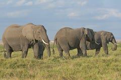 Land of elephants. Herd of African Bush Elephants  (Loxodonta africana) , Amboseli, Kenya Royalty Free Stock Image