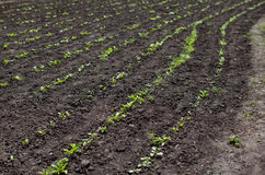Land on the field or in the garden, young green sprout crops, sp. Ring, agriculture, horizontal image Stock Photo