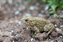 Land frog in the garden Stock Image