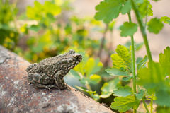 Land frog in the garden Stock Images