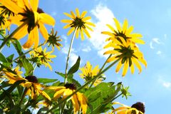 Land of the giant flowers. Yellow color Royalty Free Stock Photography