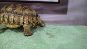 Land giant tortoise in a nursery or zoo: exhibition of turtles. Species of chordate, gigantic tortoise.