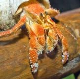 Land hermit crab. Hermit crabs (Coenobita perlatus) sitting on mangrove tree  branch   Common for Indo-Pasific region Royalty Free Stock Photo