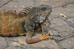 Land Iguana Stock Photography