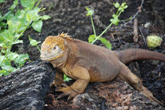 Land Iguana. The Land Iguana is very common throughout the Galapagos island. Reaching over 3 feet in length they are a remarkable animal Stock Images