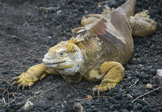 Land Iguana. The land Iguana is a very large reptile that lives throughout the Galapagos islands Stock Photos