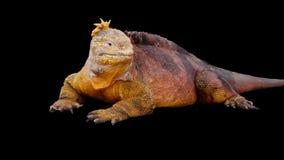 Land Iguana. Isolated Land Iguana from the Galapagos Islands royalty free stock photography