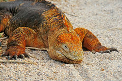 Land iguana Stock Photos