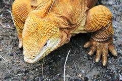 Land iguana Stock Image
