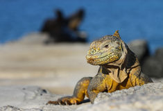 Land Iguana. This Galapagos land iguana is safely at a distance from three hungry sea lions Royalty Free Stock Photo
