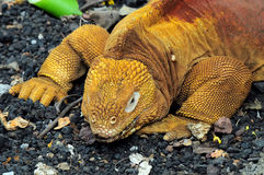 Land iguana. Conolophus subcristatus. Galapagos stock photos