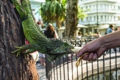 Land iguana in Bolivar Park, Guayaquil, Ecuador. Land iguana (Iguana iguana) in Bolivar Park, also known as Seminario Park (Parque Bolivar or Seminario) or stock photos