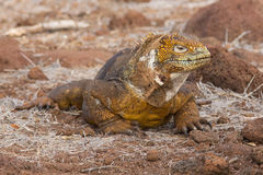 Land iguana in brilliant yellow guise, Galapagos. A Galapagos land iguana stands guard at North Seymour stock photos
