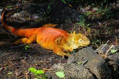 Land iguana at Charles Darwin Research Station on Santa Cruz Isl Royalty Free Stock Images
