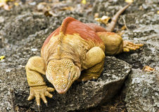 Land Iguana Climb Stock Photo