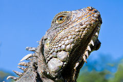 Land Iguana close up head with blue skyes Stock Photography