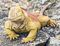 Land Iguana Close-up Royalty Free Stock Photo
