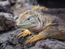 Land Iguana (Conolophus subcristatus), Plaza Sur Island, Galapagos. Land Iguana (Conolophus subcristatus) resting on lava rocks on Plaza Sur Island, Galapagos royalty free stock image