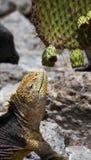 The land iguana eats a cactus. The Galapagos Islands. Pacific Ocean. Ecuador. Stock Images