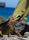 The land iguana eats a cactus. The Galapagos Islands. Pacific Ocean. Ecuador. An excellent illustration royalty free stock photos