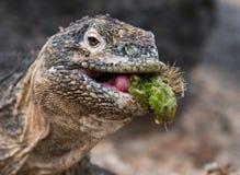 The land iguana eats a cactus. The Galapagos Islands. Pacific Ocean. Ecuador. Royalty Free Stock Image