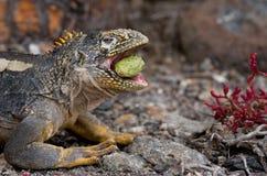The land iguana eats a cactus. The Galapagos Islands. Pacific Ocean. Ecuador. Royalty Free Stock Photos